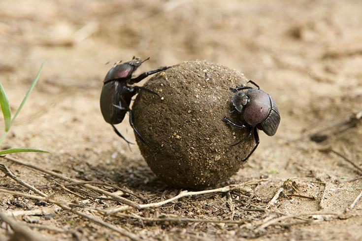 Dung beetles, Tsavo East National Park, Kenya
