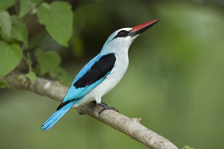 Woodland kingfisher, Halcyon senegalensis, Kruger National Park, South Africa