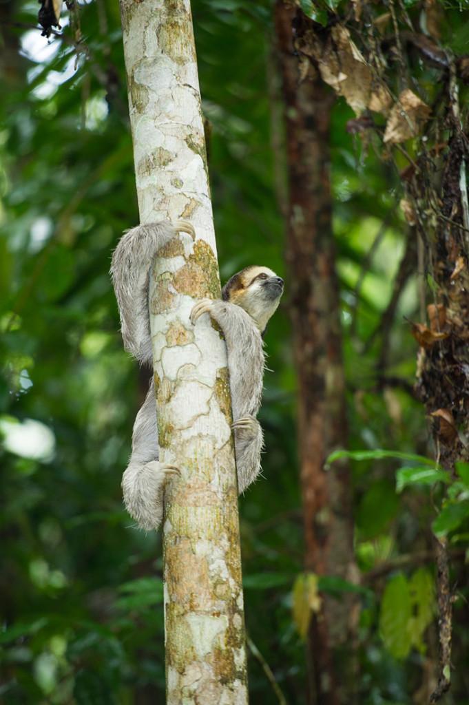 Een luiaard in de Surinaamse jungle