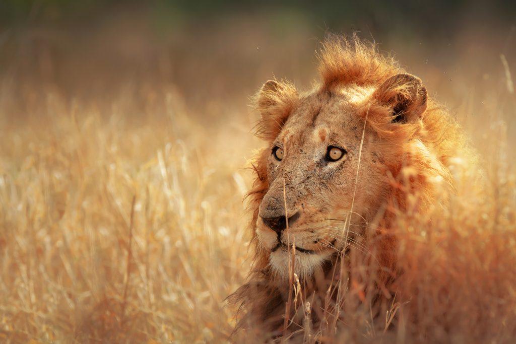 Leeuw in het Kruger Park